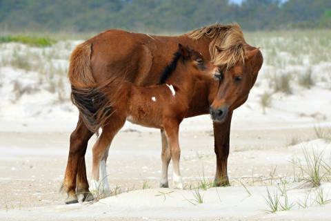 Assateague Island horse herd at 'ideal' size, rangers say