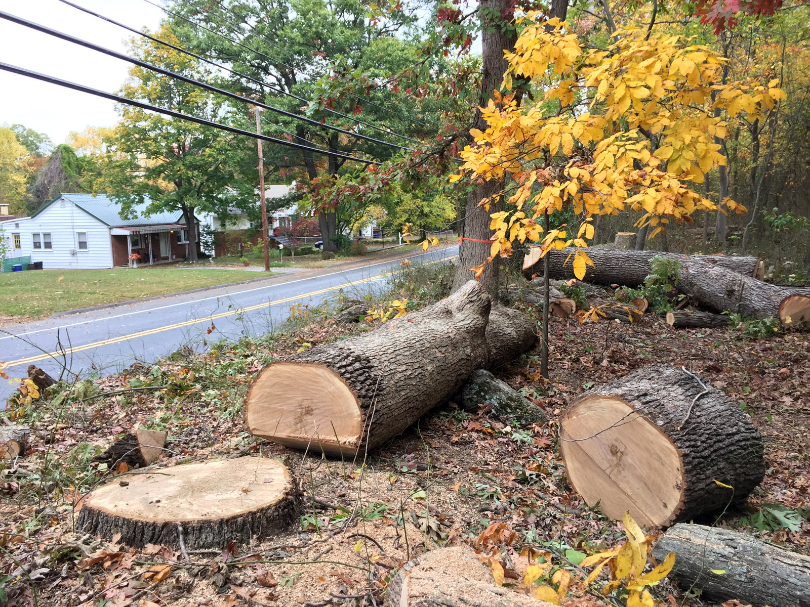 Pepco is required to trim or removed trees to allow appropriate power line clearance to last for at least four years of tree growth. These trees in Berwyn Heights were cut down recently. Neighbors didn't want them removed because they serve as a buffer against nearby highway traffic. (WTOP/Kristi King)