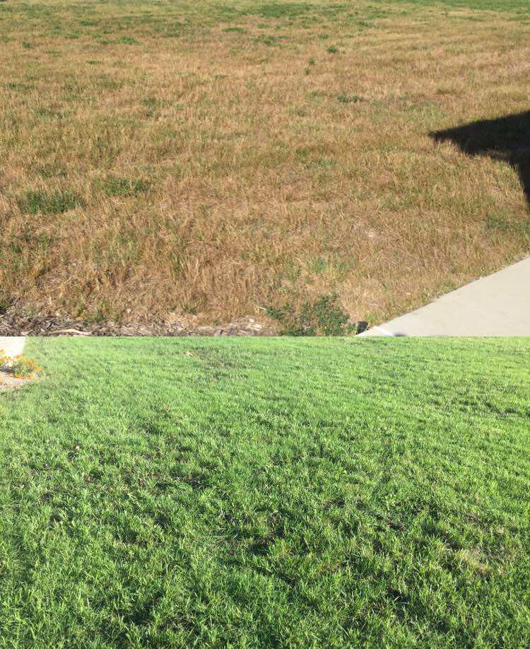 John Arigo's lawn before he followed advice to dethatch and spread compost on the lawn before overseeding. (Courtesy John Arigo)