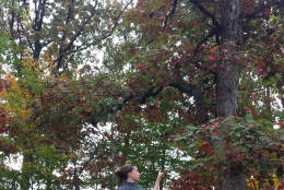 Berwyn Heights resident Carolyn Muscar points to a tree that Pepco agreed to spare after residents asked the utility to reevaluate its tree removal plans in their neighborhood. (Courtesy Therese Forbes)