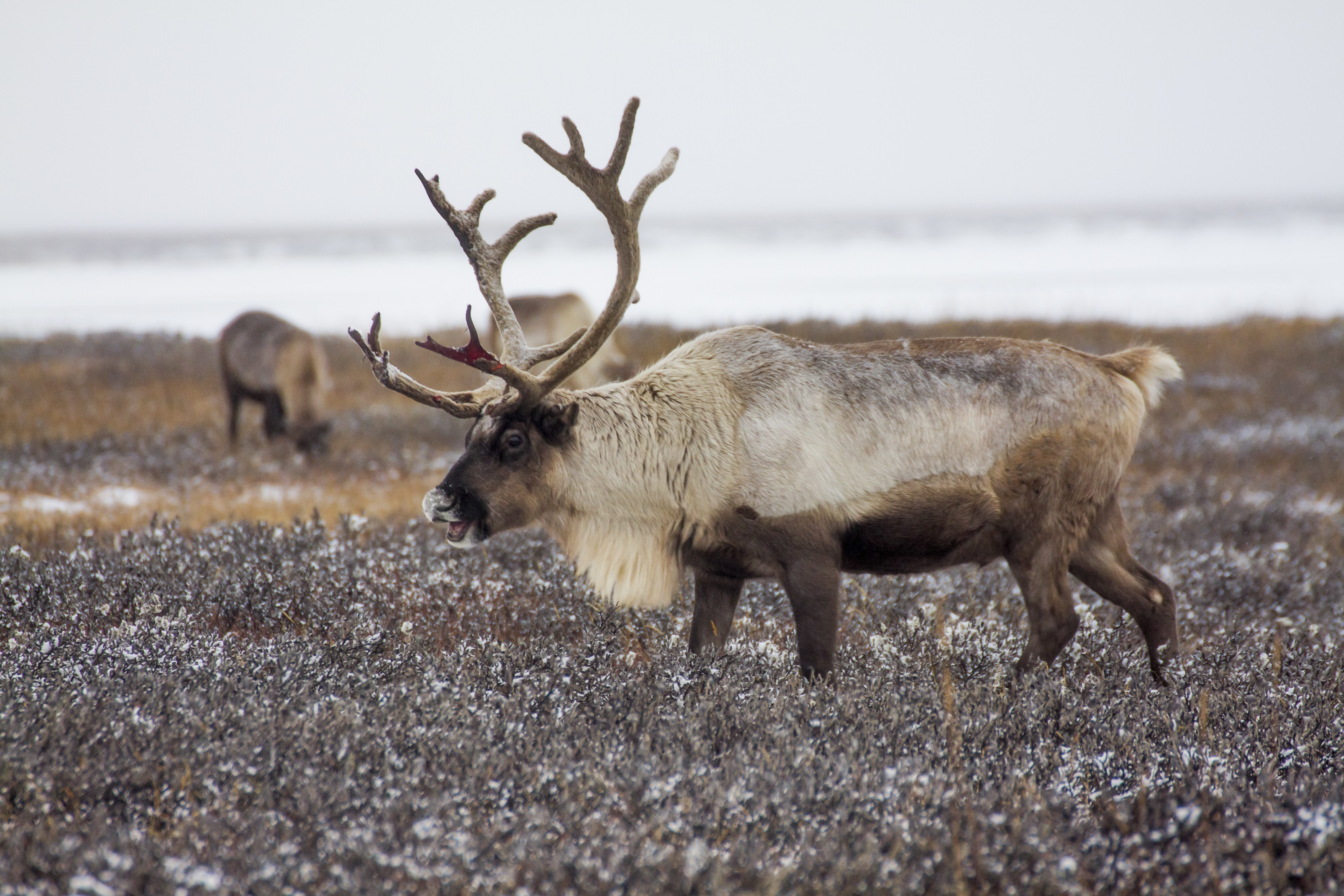 expanded reindeer cull arouses fear suspicion in siberia wtop