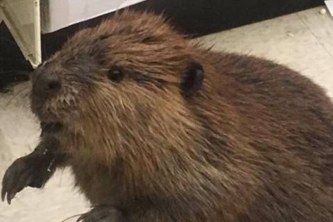 Beaver captured rooting through aisles of Md. dollar store (Photos)