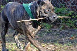 Yes, it's a unique name and she's a unique dog!  Blend, a Presa Canario mix (sometimes called a Canary Mastiff) was brought to the Humane Rescue Alliance by her owner due to a family member developing an allergy to her.   She has a beautiful brindle coat on her large frame.   At seven years old, Blend is middle-aged and is definitely a little laid back, but does have her occasional burst of energy.  She would prefer to be the only child as she loves to just lounge all day with her humans and have all the attention. Please come by our New York Avenue Adoption Center to meet Blend, this week's Pet of the Week!