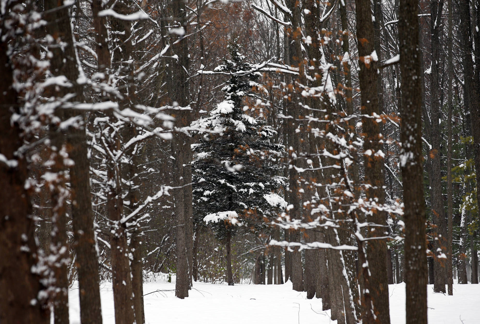 Trees are covered by snow in the Walnut Woods park on Sunday, Dec. 11, 2016, in Prospect Heights, Ill. Snow is expected to continue through late tonight, possibly bringing several more inches. (AP Photo/Nam Y. Huh)