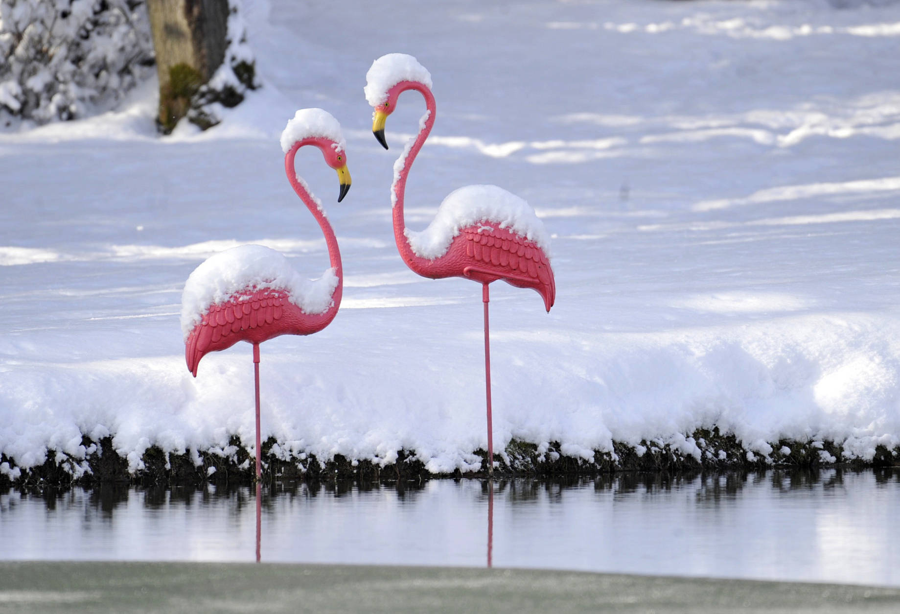 These two snow covered plastic flamingo's stand near a pond outside of Johnstown, Pa., Wednesday, Dec. 14, 2016. Weather forecasters are calling for an Arctic blast coming to western Pennsylvania on Thursday and lasting through Friday. (Todd Berkey/The Tribune-Democrat via AP)