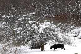 A cow walks under a tree on a snow-covered hill, Monday, Dec. 12, 2016, in West Valley, N.Y. Snow, freezing rain and rain made for a messy commute and closed hundreds of schools Monday as a winter storm pushed eastward. (AP Photo/Julio Cortez)