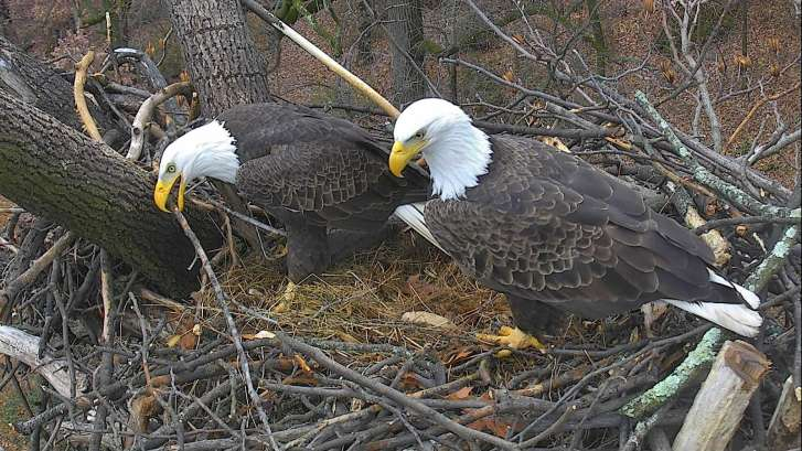 Harriet and M15 await arrival of eaglets