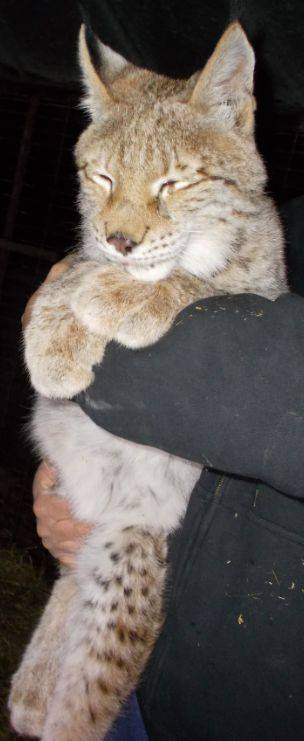 The missing Siberian lynx taken from Wilson's Wild Animal Park in Frederick County, Virginia, are 10 months in each and cost about $4,000 each. (Courtesy Frederick County Sheriff's Office)