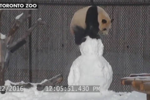Video: Panda vs. snowman: And the winner is …