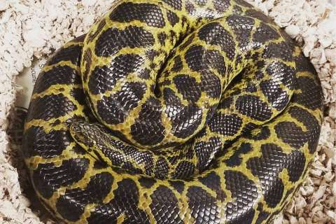 Anaconda found in Arlington Co. apartment toilet