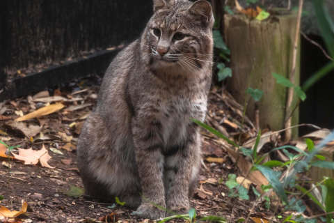 Bobcat sighting reported near National Zoo