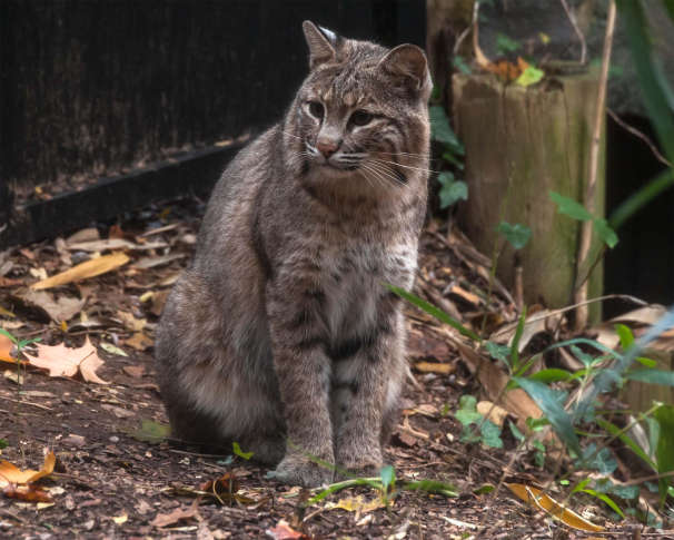Bobcat missing from National Zoo enclosure