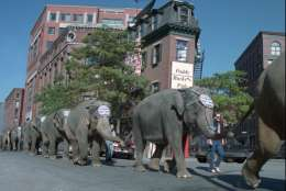Elephants from the Ringling Bros. Barnum & Bailey circus take a stroll through downtown Boston on their way to lunch at Boston's Fanueil Hall Marketplace, Wednesday, Oct. 8, 1997.  The circus is scheduled to perform in Boston from Oct. 8 through Oct. 19, 1997.  (AP Photo/Angela Rowlings)