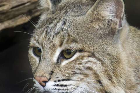 National Zoo calls off search for missing bobcat