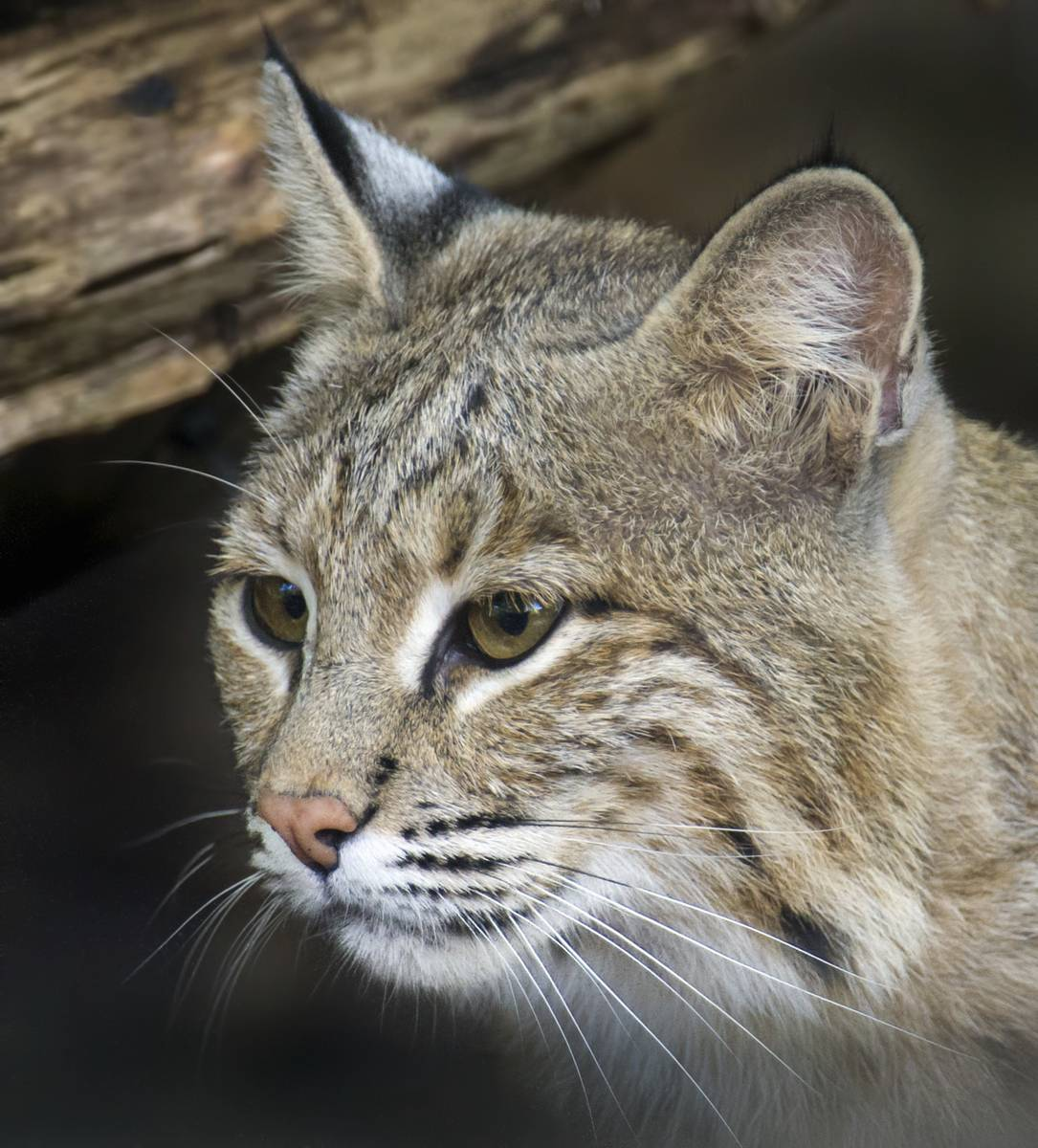 This photo provided by the Smithsonian's National Zoo shows Ollie, a female bobcat the the zoo. Ollie, who escaped from its enclosure at the National Zoo in Washington, is perfectly capable of surviving in the wild and would find plenty to eat in Rock Creek Park if it wanted to stay there, zoo officials said. The female bobcat, believed to be about 7 years old, was found to be missing Monday, Jan. 30, 2017,  morning when it didn't show up for breakfast.  (Barbara Statas/Smithsonian's National Zoo via AP)