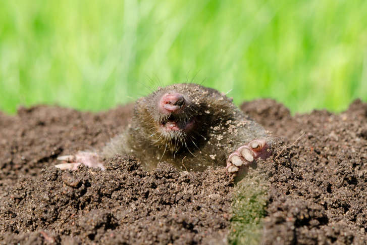 How To Rid Your Yard Of Moles Or Voles Or Both WTOP - Fruit yard car show