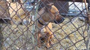 Momma, a pitbull-type dog, has been left outside in sub-freezing temperatures in Northwest D.C. (Courtesy PetworthNews.org)