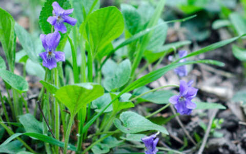 Not so wild about violets? Pick 'em and eat 'em