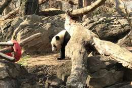 Smithsonian National Zoo Giant Panda Bao Bao will be shipped to China next week. (WTOP/Megan Cloherty)