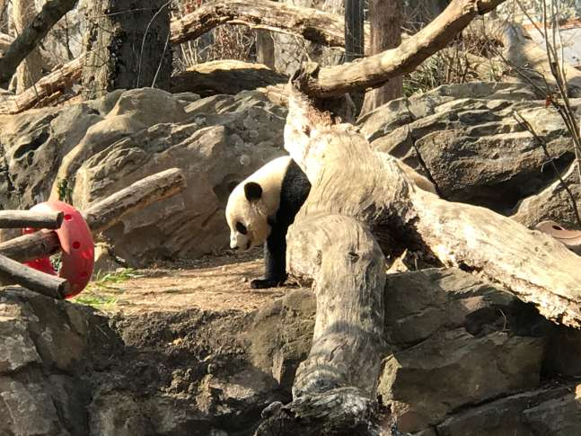 Giant panda soon to leave DC for China