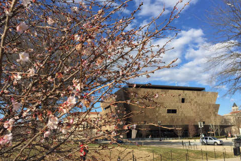 Park Service: Cherry blossoms might bloom early