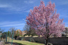 Trees already in blossom in Northwest D.C. (WTOP/Ginger Whitaker)