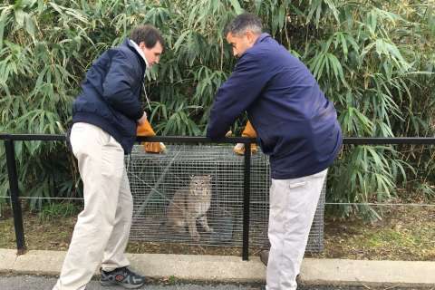 Missing bobcat found on National Zoo property