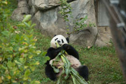 Bao Bao will be shipped on her own Fed Ex cargo plane February 21. (Courtesy Smithsonian National Zoo)