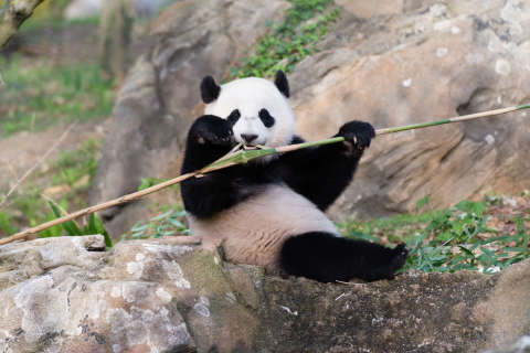 WATCH: Bei Bei gets his bearings after falling out of tree