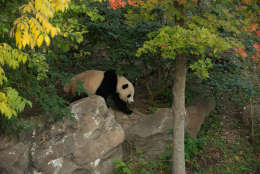The panda will go to a facility where Smithsonian National Zookeepers say she will have plenty of space to roam and all the bamboo she wants. (Courtesy Smithsonian National Zoo)