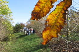 In this Friday, Oct. 19, 2012 photo, members of The American Chestnut Foundation tour a hybrid orchard outside Asheville, N.C. The organization is using such orchards to develop a tree that is mostly American, but will resist the blight that has driven it to near extinction. (AP Photo/Allen Breed)
