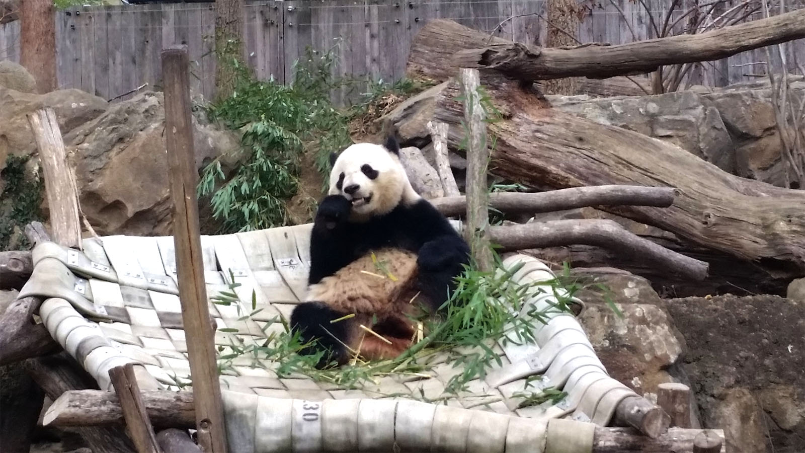Pandas at the National Zoo are moved to China by the time they are four years old. Bao Bao will be turning four in August. (WTOP / Kathy Stewart)