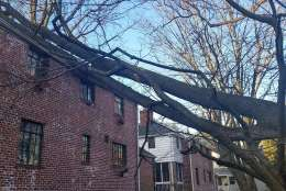 The 60 mile an hour plus winds last night toppled several trees on Thornapple Street in Chevy Chase, Maryland, hitting two separate houses. (WTOP/Kathy Stewart)