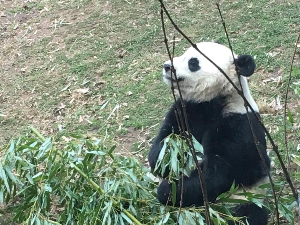 Bao Bao gazes off into her future. (WTOP/Jamie Forzato)