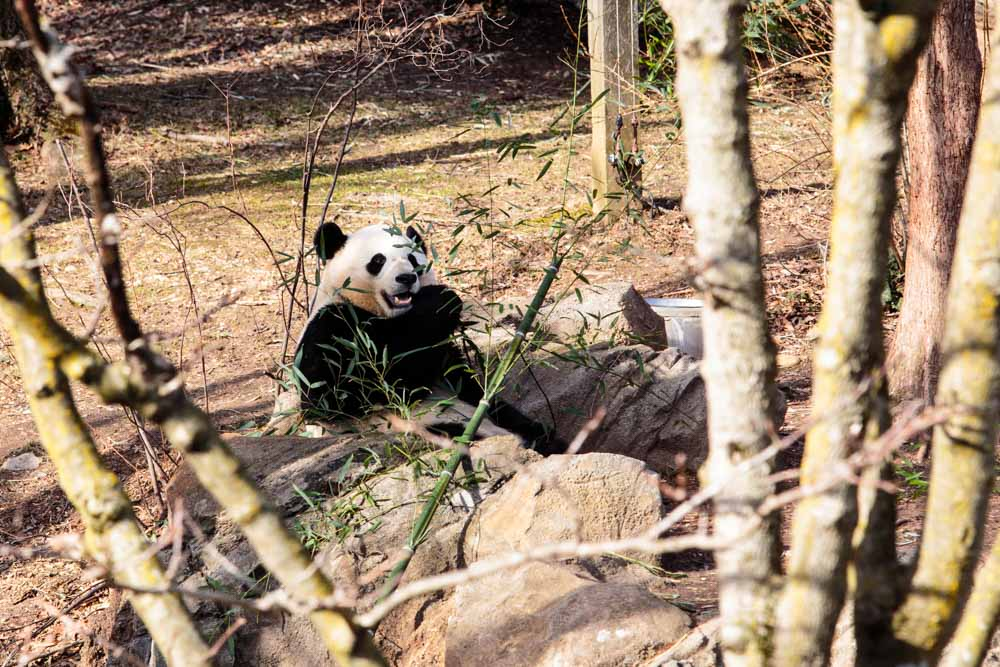 Bao Bao, the giant panda cub at the Smithsonian's National Zoo, will move to China when she turns 4. Bao Bao, 3, will turn 4 on Aug. 23, 2017, but zoo officials are keeping her move-out date secret. (CNS/ Tom Hausman)