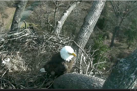 Video: Eagle Cam captures The First Lady laying 1st egg of 2017