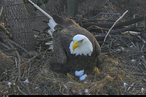 Eggscellent! Arboretum eagle First Lady lays 2nd egg of 2017