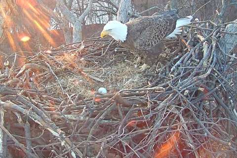 Eagle watch: New egg spotted in DC bald eagles' nest