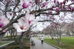 Tulip Magnolia trees bloom in Washington, Tuesday, Feb. 28, 2017. Crocuses, cherry trees, magnolia trees are blooming several weeks early because of an unusually warm February. Some climate experts say it looks like, because of an assist from global warming, spring has sprung what may be record early this year in about half the nation. (AP Photo/Cliff Owen)