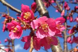 The early-blooming cherry tree variety 'First Lady' was developed at the National Arboretum. This picture was taken at the Beltsville Agricultural Research Center in Beltsville, Maryland on Friday. (Courtesy Margaret Pooler)