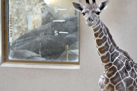 Public can vote on name for Maryland Zoo's baby giraffe