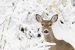 A deer stand on a hill newly covered in snow at the Wissahickon Valley Park in Philadelphia, Thursday, Feb. 9, 2017. (AP Photo/Matt Rourke)