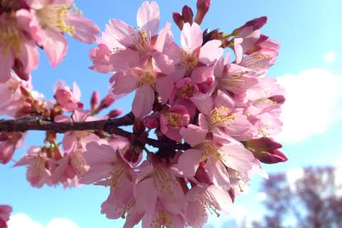 What will February warmth do to cherry blossoms?