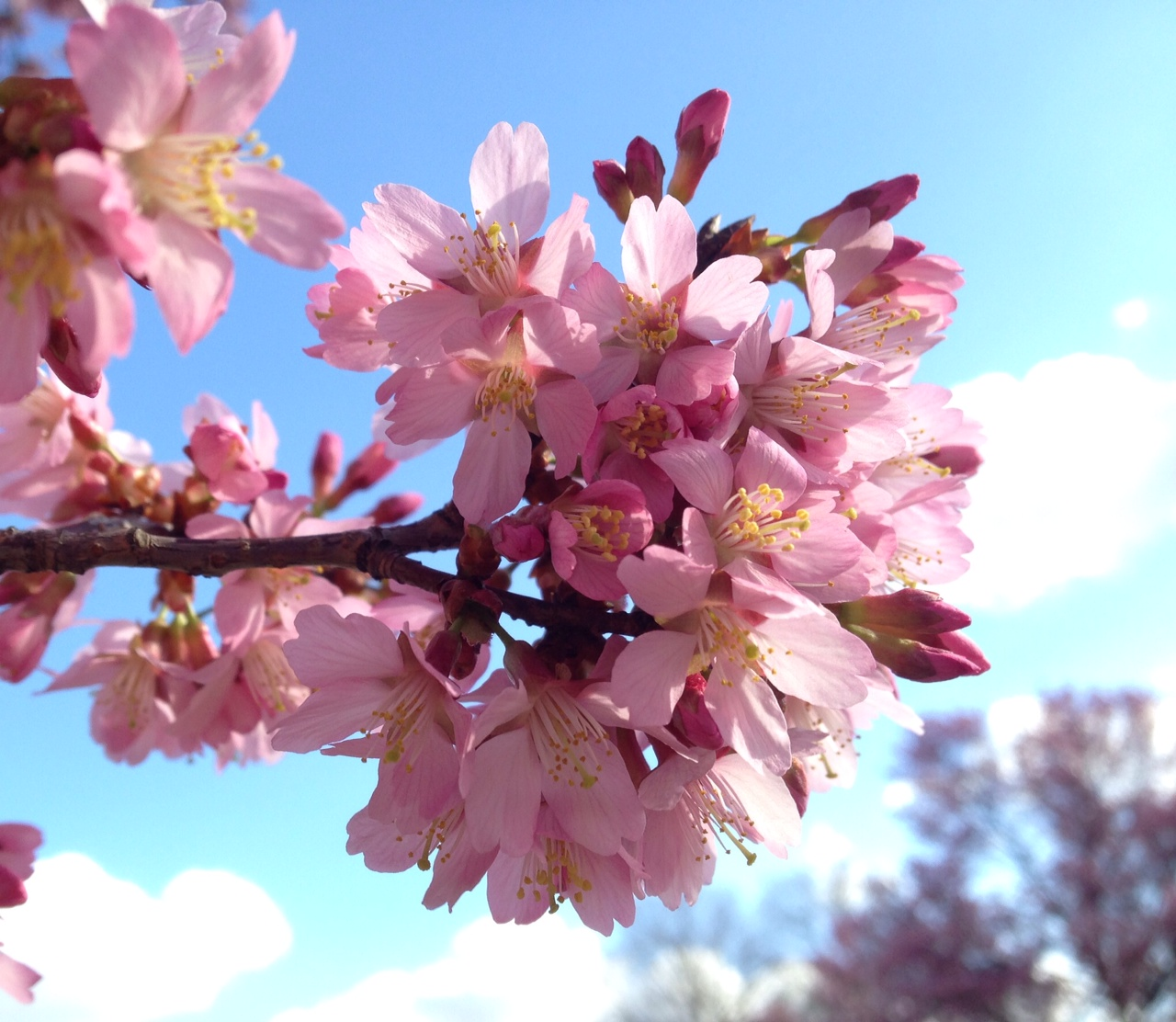 This Okame cherry tree is blooming at the Beltsville Agricultural Research Center. Pictured on Friday, a National Park Service Spokesman said the single Okame tree on the National Mall isn't quite that far along, although it's close. (Courtesy Margaret Pooler)