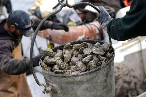 Project aims to get 10 billion oysters in Chesapeake Bay by 2025