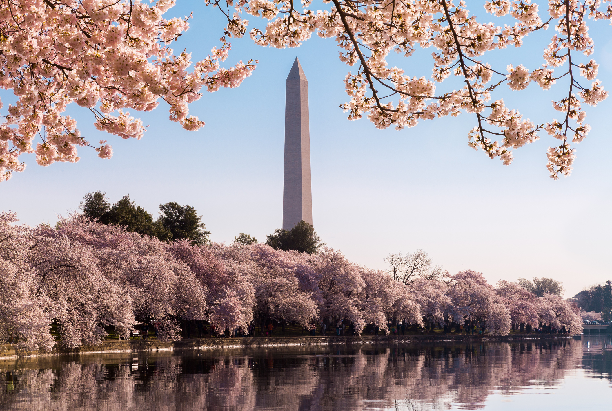 Key Events National Cherry Blossom Festival 2017 Wtop,Perennials Plant With Purple Flowers And Green Leaves