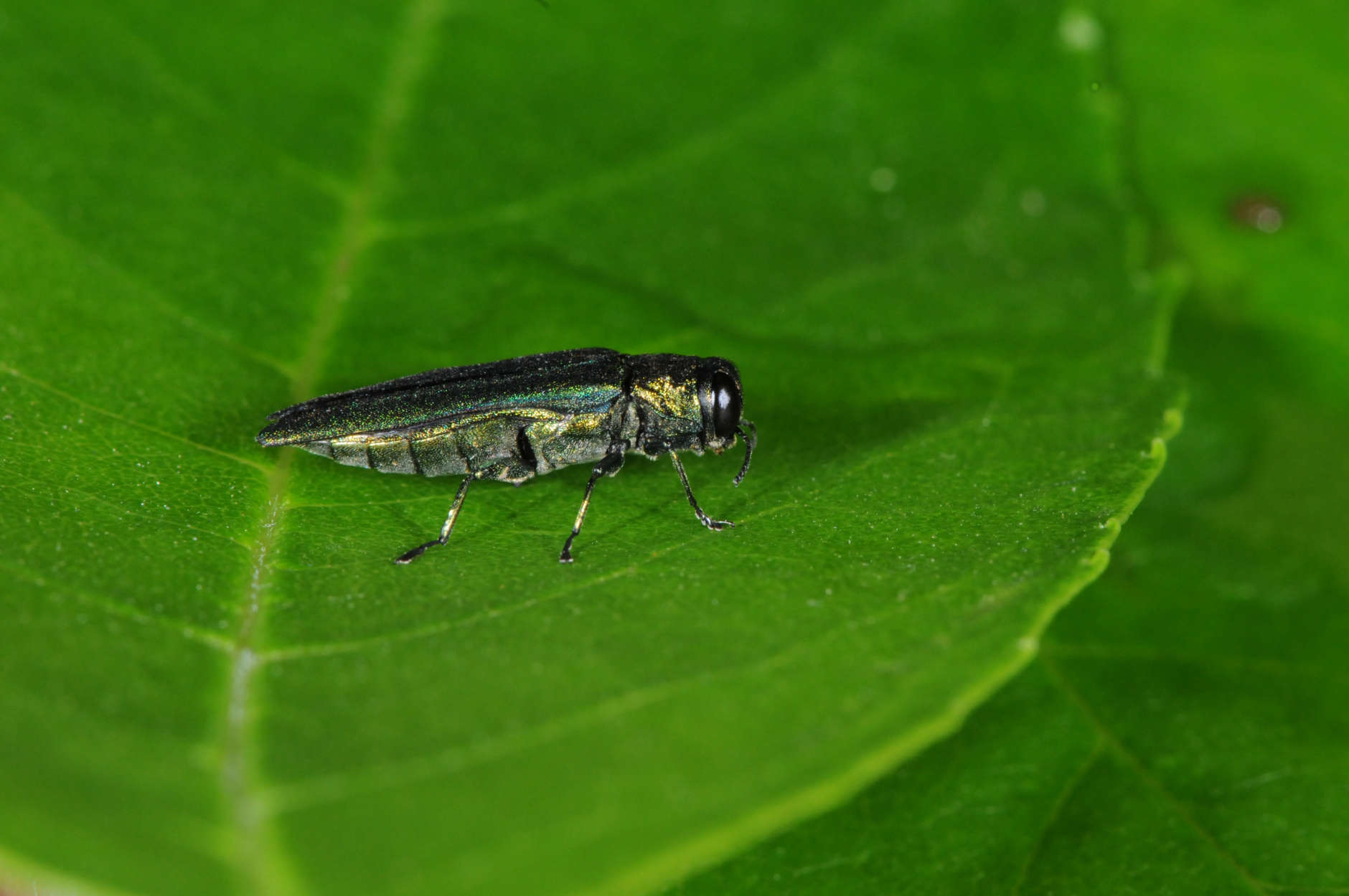 Protected by antifreeze-like compounds in its blood, the emerald ash borer will not be killed unless temperatures drop well below zero. (Photo courtesy Mike Raupp)