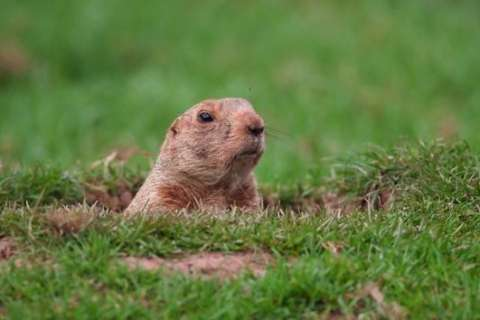 Wild groundhog with rabies caught at Md. zoo prompts warning