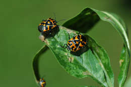 An invasive species from the South, harlequin bugs were unlikely to be killed by above-average temperatures in our region this year. (Photo courtesy Mike Raupp)