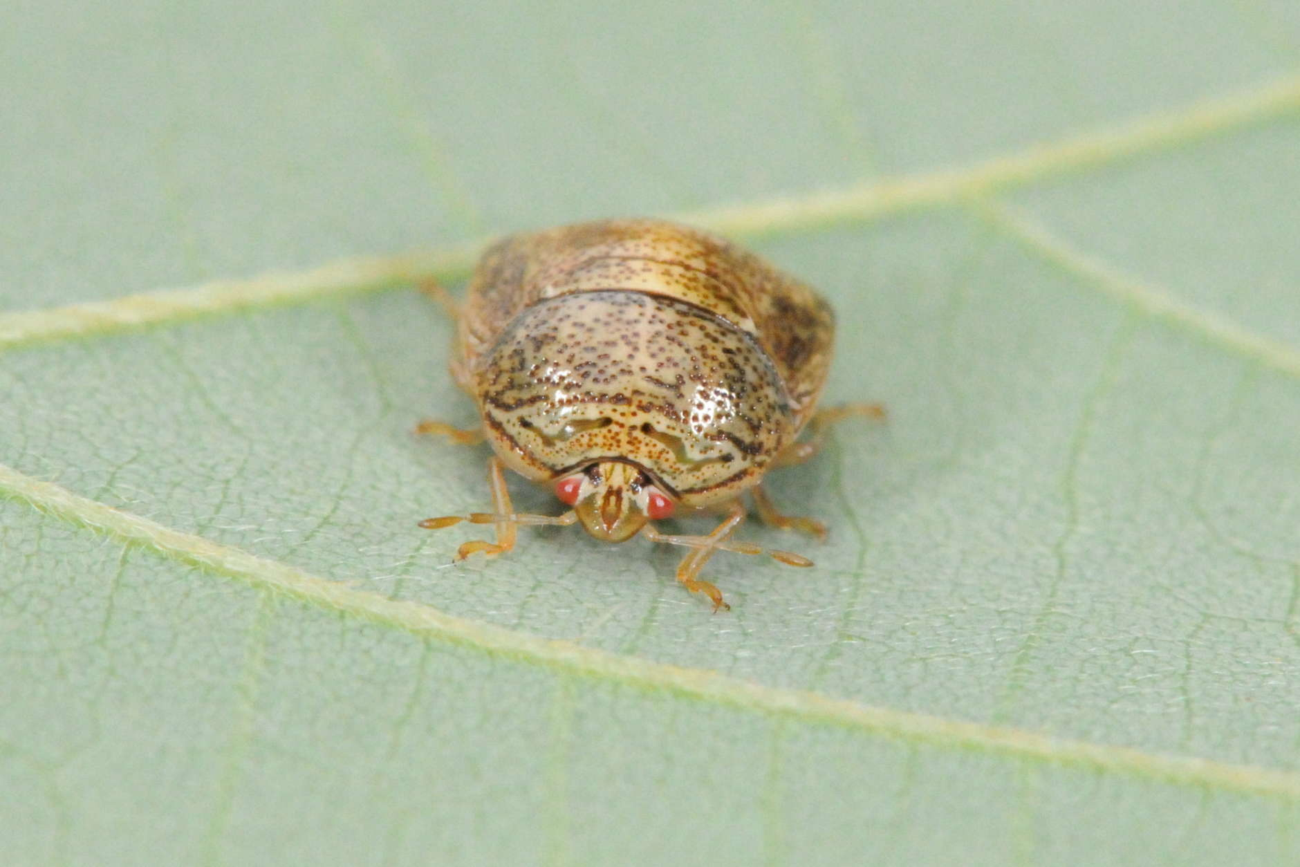 The kudzu bug is a soybean pest that survives well in Maryland when winters are mild. (Photo courtesy Mike Raupp)